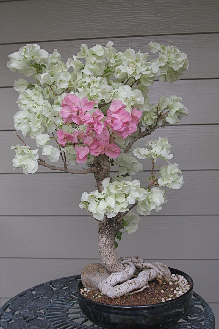 1000 Ideas About Bougainvillea Tree On Pinterest Bougainvillea