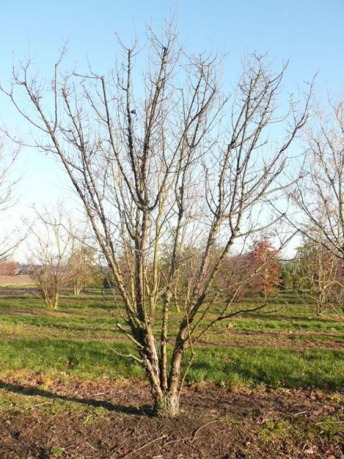 Prunus serrula #tree #multitrunk #multistem www.vdberk.co.uk