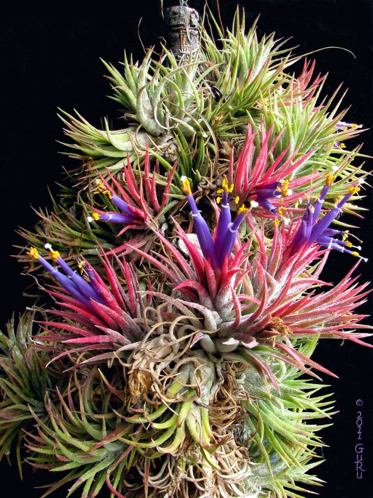 Tillandsia ionantha I LOVE these! Perennial flowering
