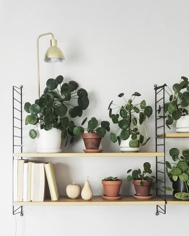 Pilea heaven for #greenhomebook #vihreäkoti #viherkasvikirja by @susanna_vento @pinja.forsman and @weekdaycarnival