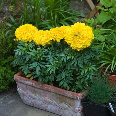 tagetes erect discovery yellow