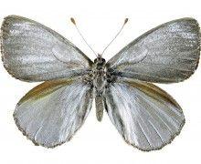 Catálogo de mariposas chilenas