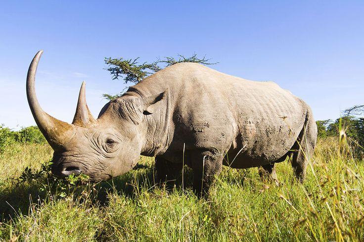 Un rinoceronte bianco nell'erba alta, Foto del giorno - NatGeoFan
