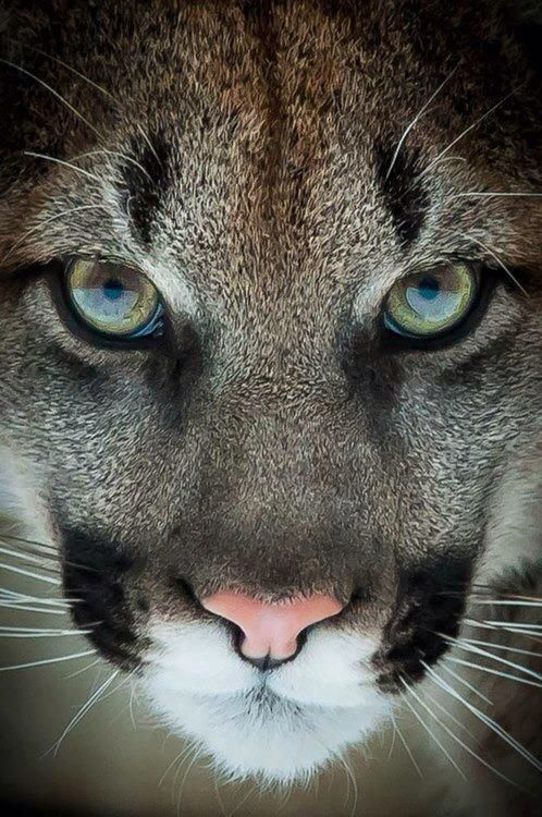 Pumas have such a wild beauty... That said, I love them!