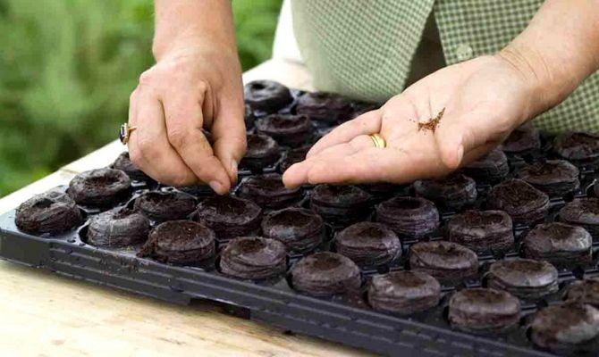 Торфяные таблетки для рассады петунии – секреты эффективного выращивания + Видео