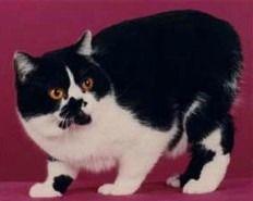 rumpy, Schwarz-Weiß Manx Katze