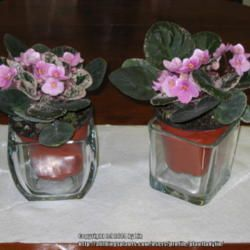 African Violet Self Watering Pot Idea