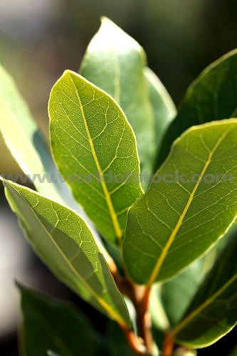 Stock Photo titled: Bay Leaf Herb Growing In Garden, unlicensed use prohibited