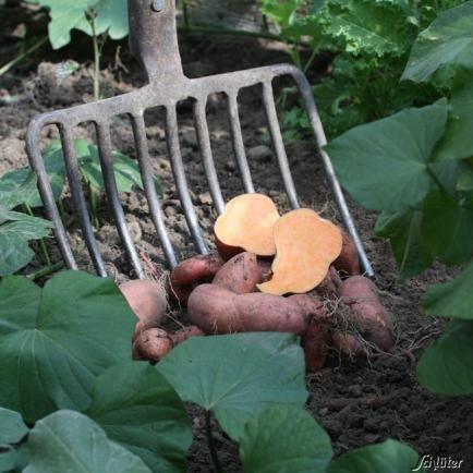 Speise-Süßkartoffel F1 - 1 Pflanze