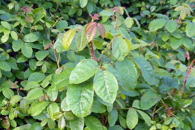 Is that plant poison oak or not? These photos show poison oak leaves in several shapes and the plants it is imitating. Learn how to identify it.