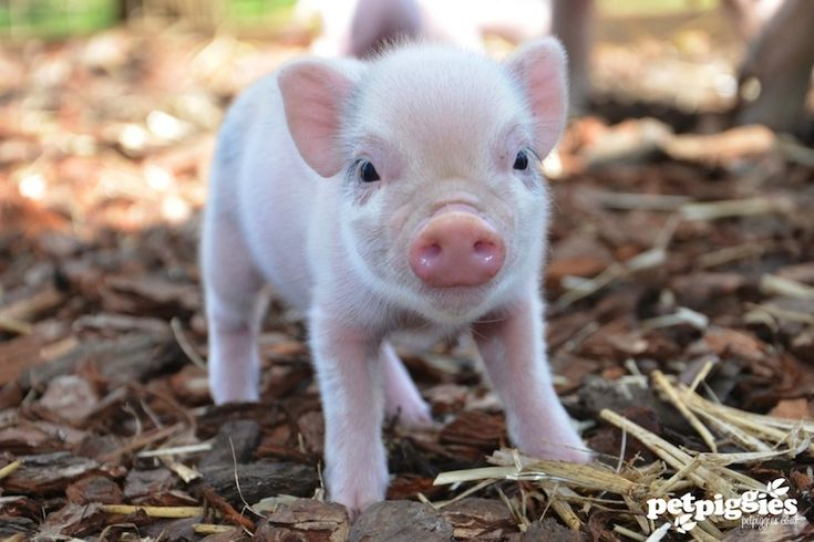 I have to say, I want a micro pig! And if I were to ever get one, I would of course name it Wilbur if it was a boy. If was a girl, I'd name it Penelope.