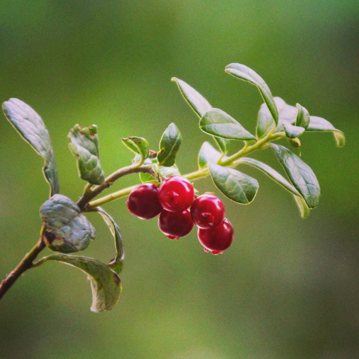 Lingonberries in the forest