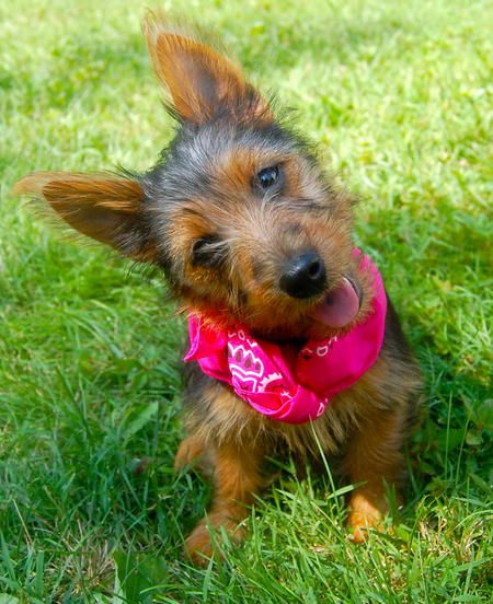 Lily the Australian Terrier, daughter of our Water and Feed category manager- PetSafe is so proud!