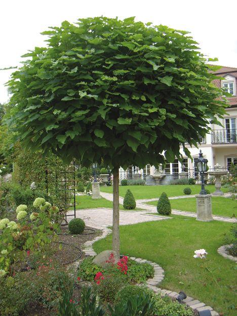 Kugel-Trompetenbaum - der schönste Baum für den Vorgarten!!