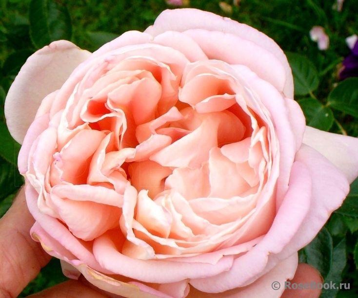 548 best ma vie en rose images on pinterest gardens. Black Bedroom Furniture Sets. Home Design Ideas