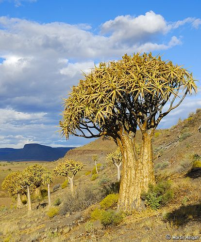 """Quiver Tree Forest in Nieuwoudtville One of the many ancient Quiver Trees (Aloe dichotoma) in the """"Quiver Tree Forest"""" in Nieuwoudtville, S..."""