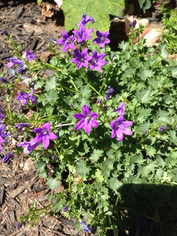 Bellflower Campanula Hybrid Your Plant Appears To Be A Bellflower Prized For Their Blue Pink Violet Or White In 2020 Campanula Portenschlagiana Bellflower Plants