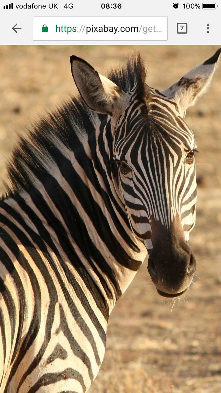 20 besten Zebra Tattoo Inspo Bilder auf Pinterest