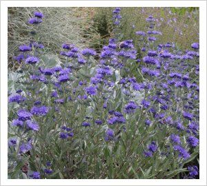 Caryopteris x clandonensis 'Heavenly Blue' | Lambley Nursery 90 x 80