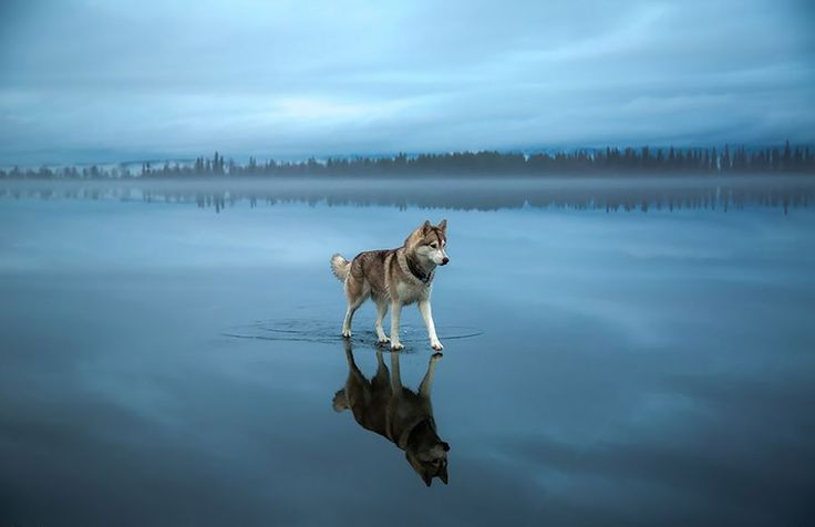 Photographer Captures Dream-Like Pictures Of Husky Playing On A Frozen Lake // via demilked