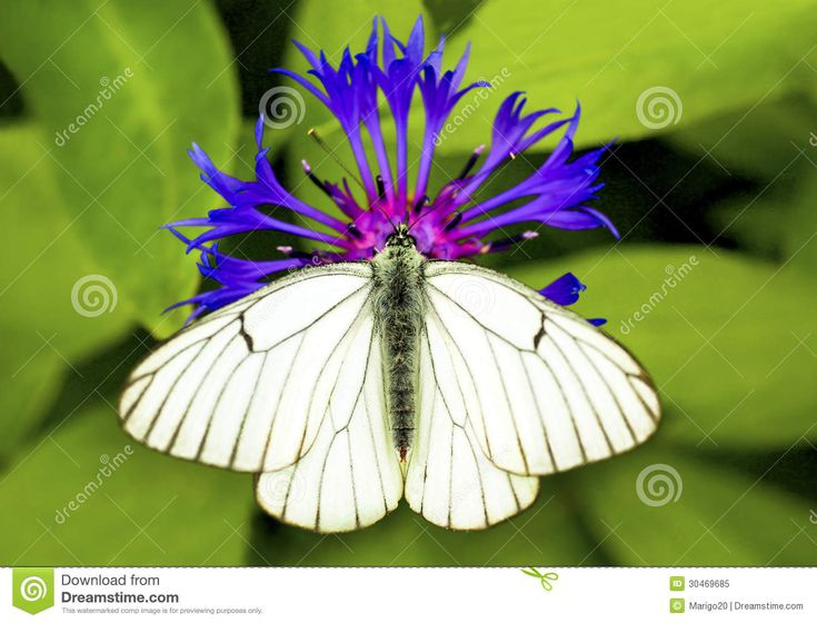 blue white butterfly   White cabbage butterfly sitting on a blue flower in the summer.
