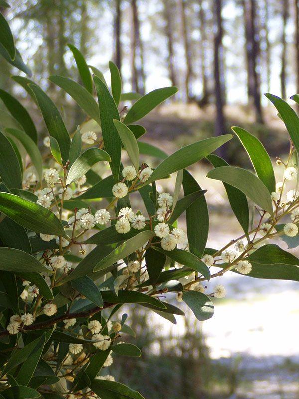 Flowering Australian Blackwood Tree Acacia Melanoxylon Plants Trees To Plant Plant Species