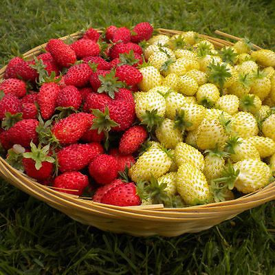 Yellow and red Alpine Strawberries grow berries all summer that are prized by chefs and foodies. Even if they don't produce a mass quantity of fruit each year, they are worth growing for taste alone. Similar to pink blueberries, yellow strawberries resemble an unripe version of the traditional fruit. They have all of the flavour but a bit less visual pizzazz.