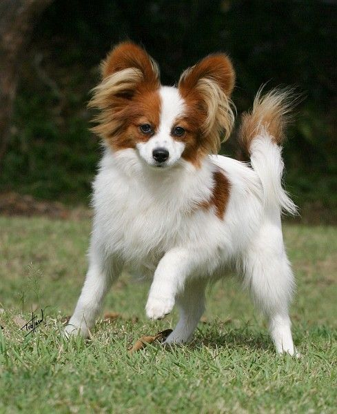 White Brown Papillon Haircuts for Longhair | Animals ...