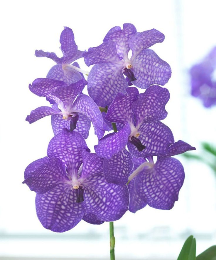die besten 25 vanda orchidee ideen auf pinterest vanda orchideen phalaenopsis und. Black Bedroom Furniture Sets. Home Design Ideas