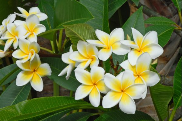 Ile de La Réunion - Fleur de Frangipanier