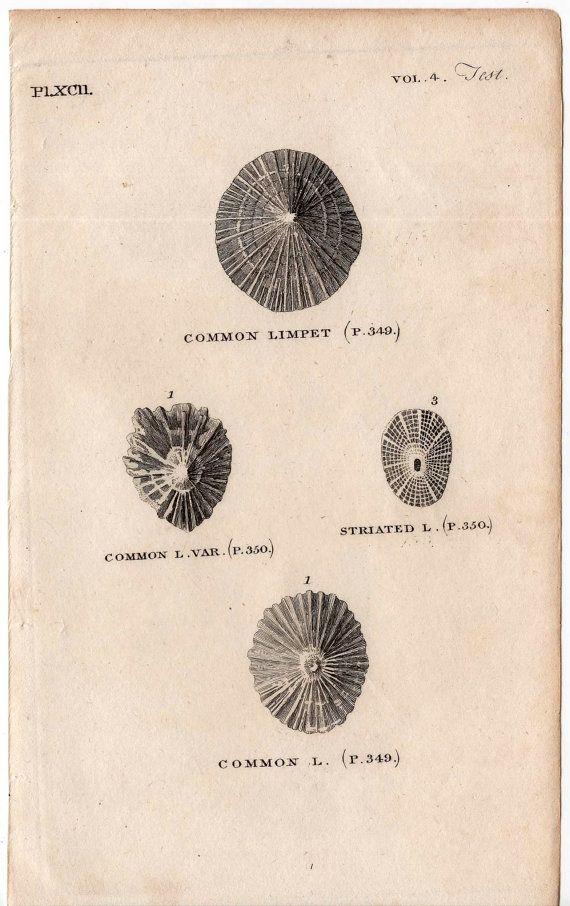 1812 shell print original antique sea shore ocean engraving - limpet shells