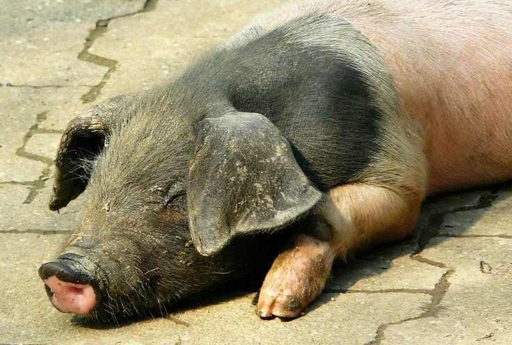 Pig, Piglet, Happy Pig, Sow, Animals, Animal, Farm