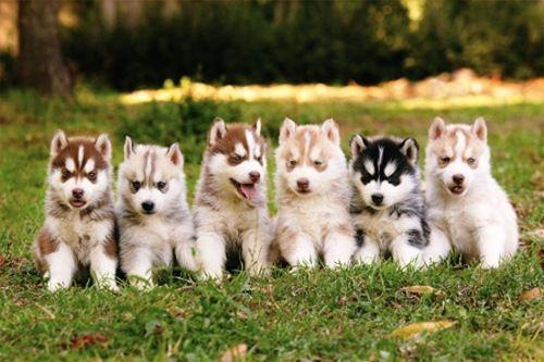 Siberian husky puppy dogs.