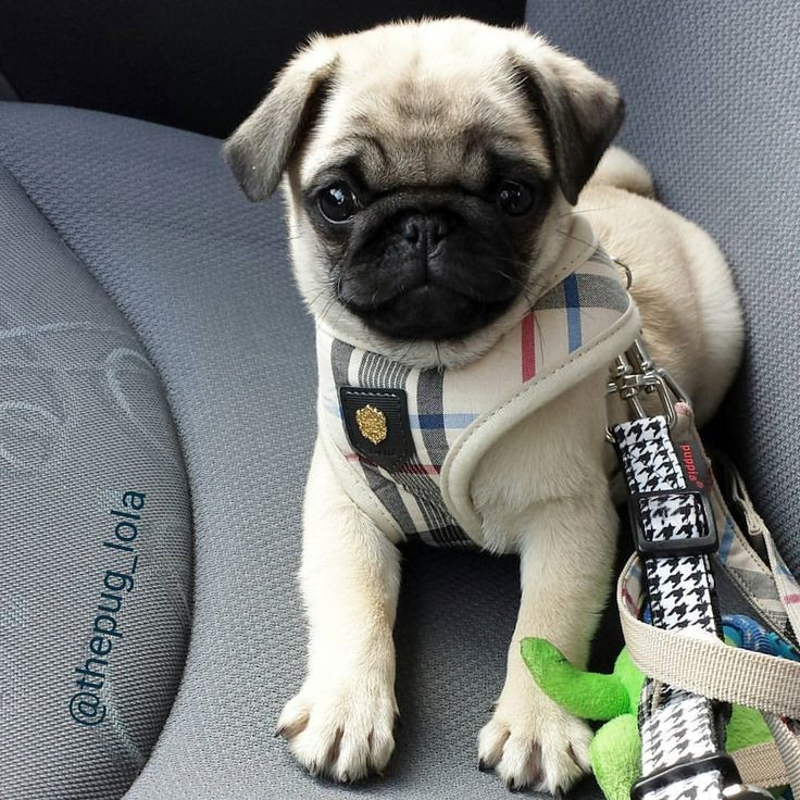 I would hug it to death!😍  All credit goes to the owners 💝 Tag if you know them 💝  #pugdaily #pugs #pug #cute #puglover