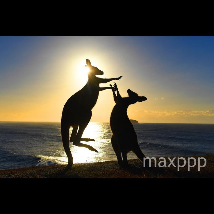 Eastern grey kangaroos fight on 'Look At Me Now Headland' at Emerald Beach in northern New South Wales, Australia, 02 August 2017.  EPA/DAVE HUNT (MaxPPP #photo #photos #pic #pics #picture #pictures #snapshot #art #beautiful #instagood #picoftheday #photooftheday #tbt #cute #followme #follow #color #exposure #composition #focus #capture #moment #photojournalism #photojournalisme #maxppp #australie #australia