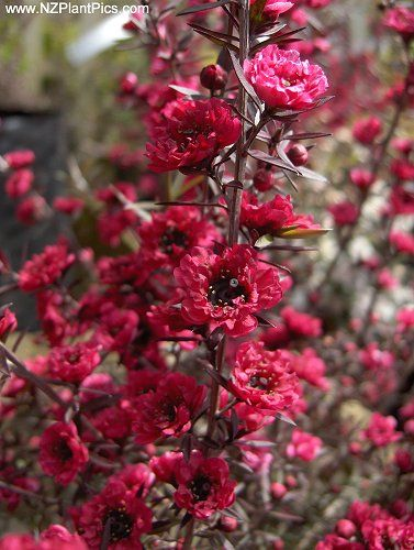 A number of Leptospermum scoparium cultivars can be grown, ranging from tall upright shrubs to low trailing New Zealand Manuka varietiesfrom white, pink to red.