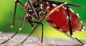 Brasil enfrenta tríplice epidemia do zika vírus, dengue e febre chikungunya. Em comum entre as doenças, o vetor de transmissão, o mosquito Aedes aegypti. (Foto: James Gathany/CDC)