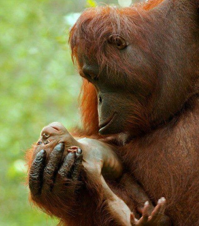 I don't know how people can say animals don't emote. The love this orangutan momma has for her baby is so sweet