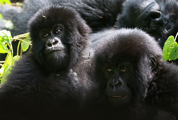 2 Day Rwanda Gorilla Trek | African Unique Safaris and Tours | Perfect for travellers with little time, visit Volcanoes National Park in Rwanda and see amazing endangered Mountain Gorillas.
