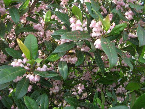 ELAEOCARPUS reticulatus PRIMA DONNA tm (Blueberry Ash) Australian Native Tree
