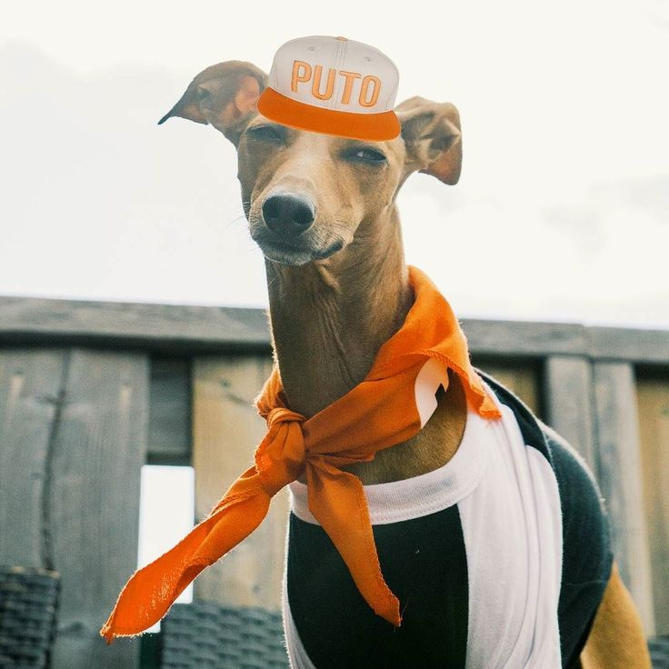 This one is a special post for my Brazilian fans! How do you like my @cocielo impression? That guy knows fashion  Fyi I have no idea what that hat stands for! Someone please explain! #iggyjoey  __  #cocielo #brasil #perro