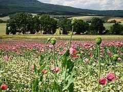 Poppies, Opium Poppy, Poppy, Field