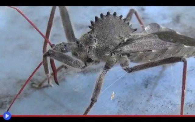 Un uomo imprudente libera l'insetto assassino Qualcosa si muove nell'incavo dello specchietto retrovisore, sul lato passeggero della macchina dimenticata. In mezzo alla polvere, possibile che... Nel mondo delle cose piccole, per istinto, tutto c #insetti #predatori #ragni #animali