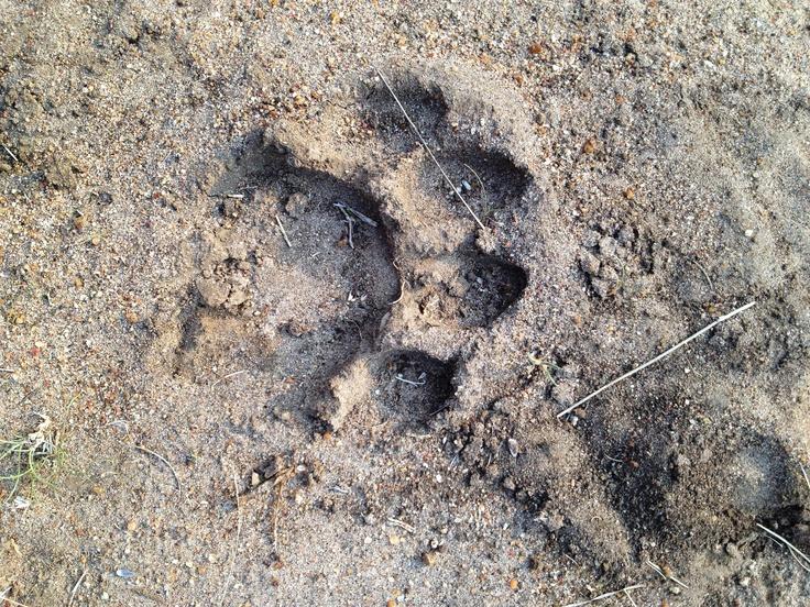 Lion spoor seen in Moditlo.