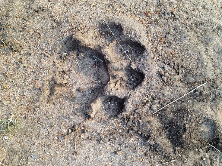 Lion spoor seen in Moditlo.