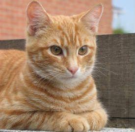 Cat Distemper : Cats are at risk from feline distemper