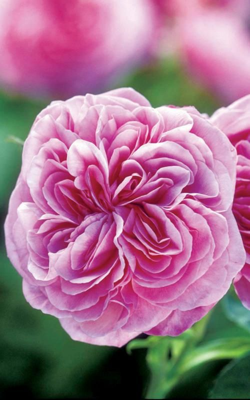 rose 39 gertrude jekyll 39 gertrude jekyll and her gardens. Black Bedroom Furniture Sets. Home Design Ideas
