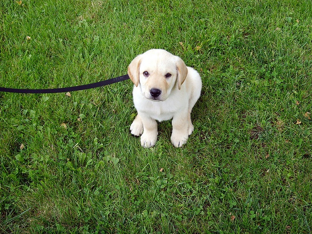 yellow lab | Anne's new Yellow Lab puppy, Enu | Flickr - Photo Sharing!