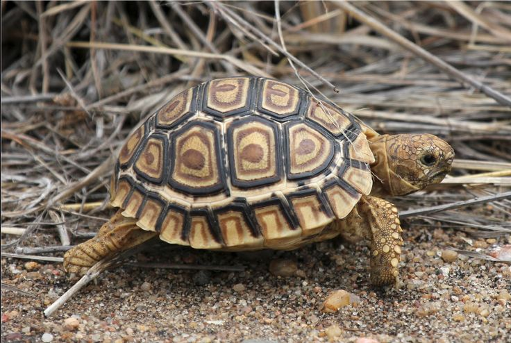 Geochelone pardalis imm. (Leopard Tortoise)   / Very small Leopard Tortoise approx 3-4 inches in length on the road near Letaba rest camp, Kruger National park, South African by Nick Dean