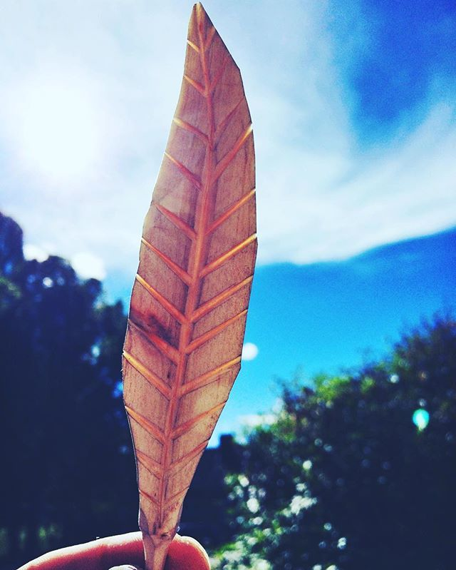 A birch feather almost as thin as a bird feather.  #feather #birch #birchwood #birchtree #woodworking #finewoodworking #woodfeather #handmade #woodcarving